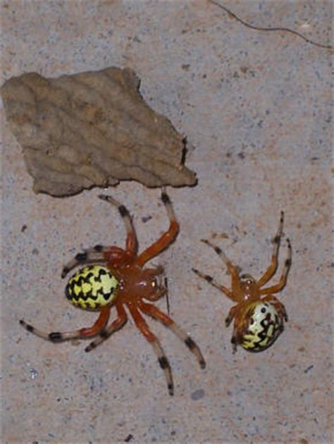 Garden Spider With White Bum Spiders At Spiderzrule The Best Site In The World About