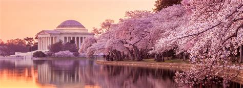 national cherry blossom festival blooms pop ups the national cherry blossom festival