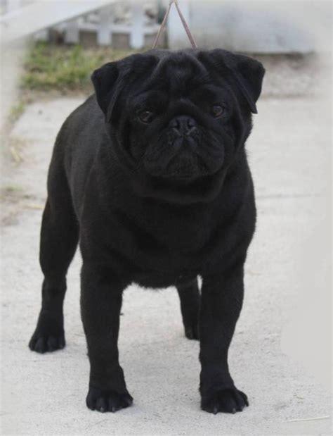 all black pug black pug photograph journey with pugs dominant cham