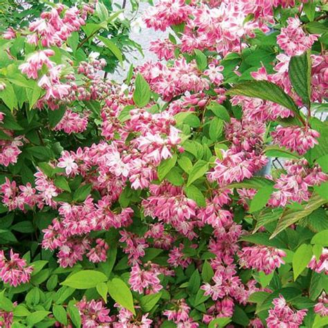 17 best images about summer flowering shrubs for colorado