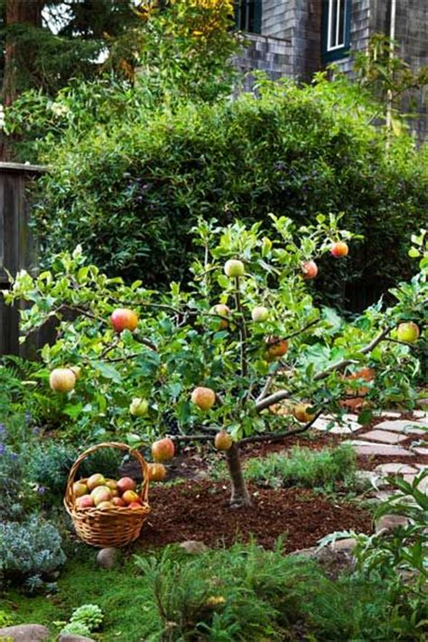 backyard apple trees 17 best ideas about pruning fruit trees on pinterest