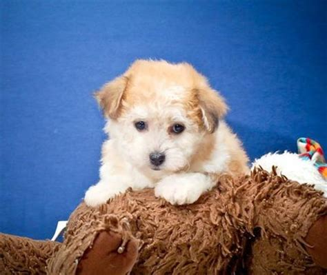dogs for adoption ta mcnab sale mcnab puppies buy buy mcnab breeders mcnab dogs breed mcnab dogs for