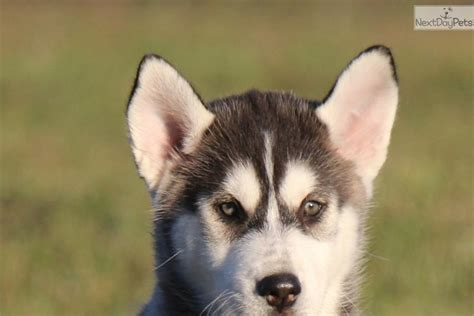 husky puppies for sale near me denali akc siberian husky puppy for sale near grand rapids michigan 9a0a73d7 3e71