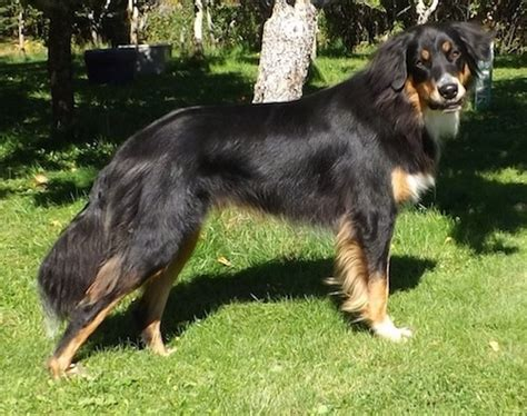 australian shepherd rottweiler mix mixed breed pictures with bios 44
