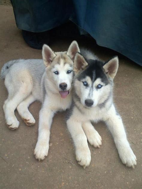 adorable husky puppies husky puppies