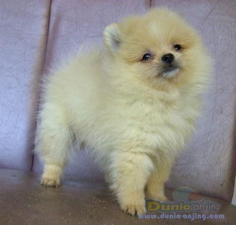 pomeranian panda puppies for sale dunia anjing jual anjing pomeranian for sale minipom puppies