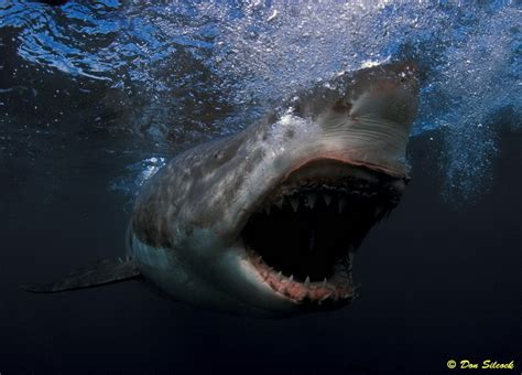 great white shark attacks cage australian great white shark cage diving indopacificimages