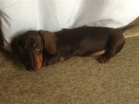 Dachshund Puppies For Sale Breeds Picture