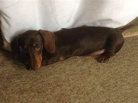 dachshund puppies ta miniature dachshund chocolate www pixshark images