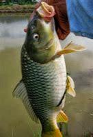 buat umpan ikan mas pilihan umpan ikan mas buat yang hobi memancing