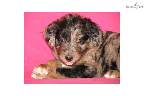 standard aussiedoodle puppies for sale doodle puppies quotes