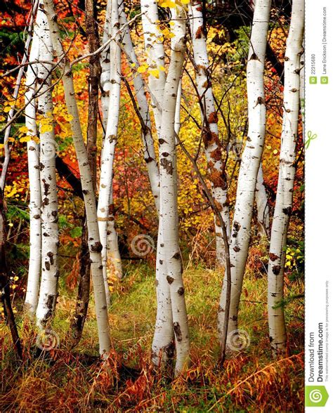fall birch trees stock photo image 22315680
