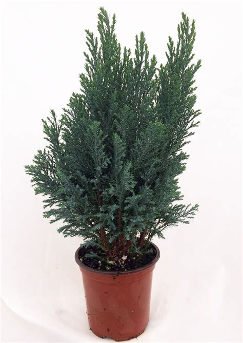 european christmas tree blue european cypress tree chamaecyparis indoors out 4 quot pot ebay