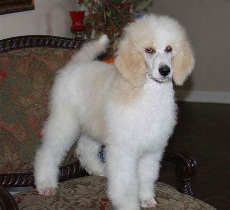 parti colored poodle henry parti poodle puppy renowned poodles