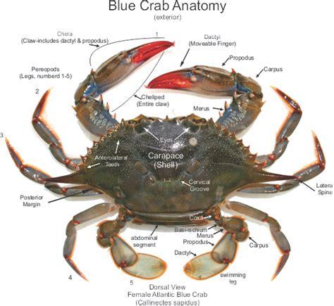 Kitchen Island Construction by Female Atlantic Blue Crab Anatomy Callinectes Sapidus
