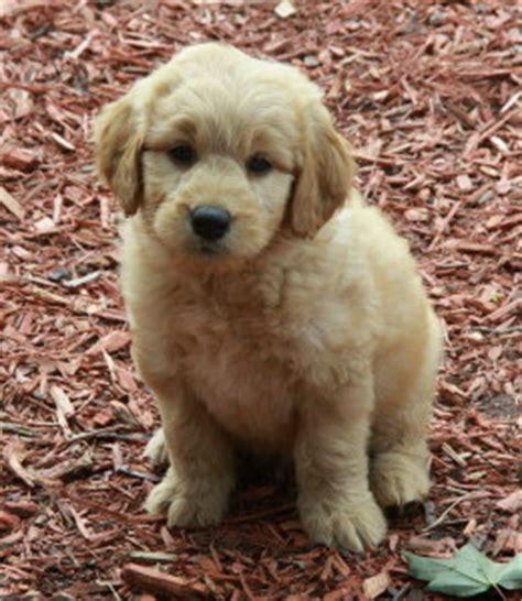 puppies for sale ontario golden doodle puppies for sale puppies for sale dogs