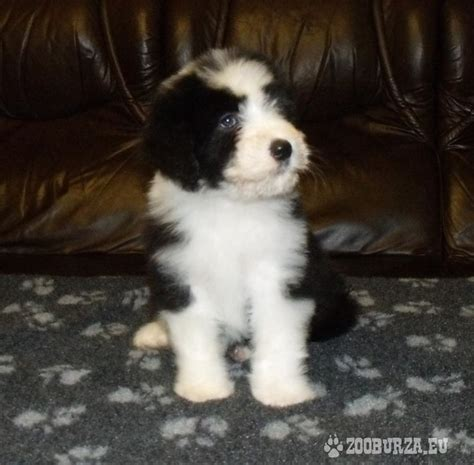 bearded collie puppies for sale bearded collie puppies