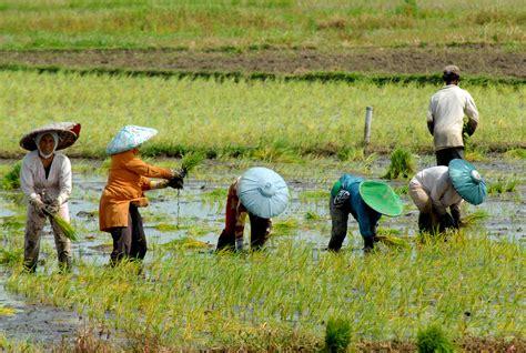 buruh tani penanam padi di tangerang berita daerah