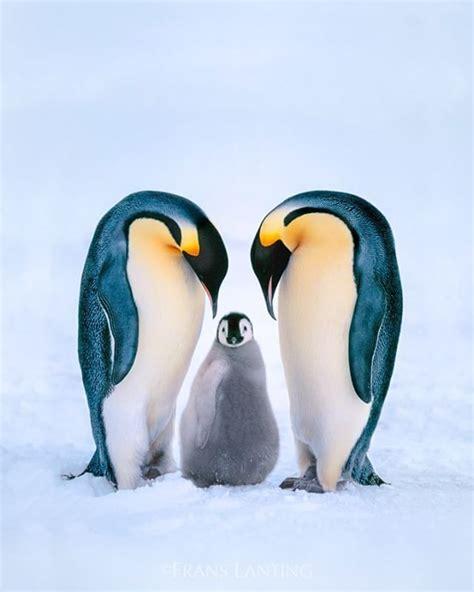 s day penguin best 25 penguin day ideas on penguins