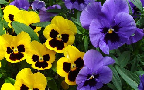 flower wallpaper pansy flowers wallpapers amazing picture collection
