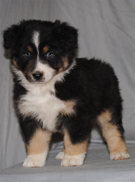 australian shepherd puppies houston australian shepherd puppies for sale houston tx 212949