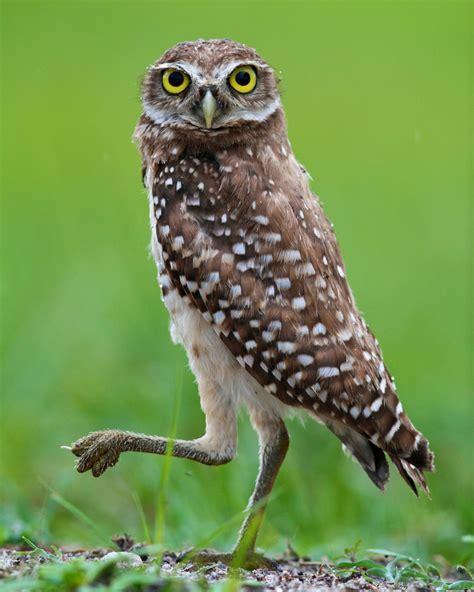 florida burrowing owl athene cunicularia floridana flickr