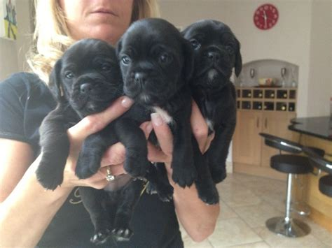 cocker pug puppies cockerpug sprugs pug x cocker spaniel langley hertfordshire pets4homes