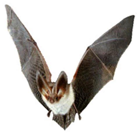 echolocation in bats backyard chirper