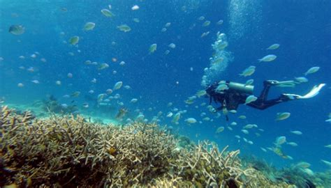 Minyak Ikan Australia begini dak limbah minyak terhadap ikan karang tekno