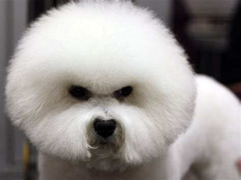 Bichon Frise Also Search For Fluffy And Lovely Bichon Frise Dogs Pictures Morewallpapers