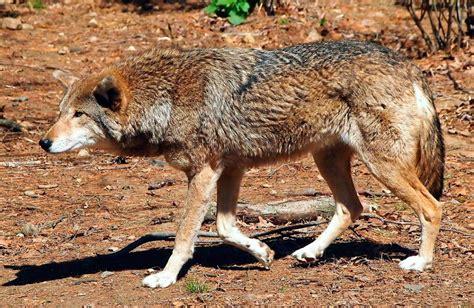 en estado salvaje lobo rojo en estado salvaje im 225 genes y fotos