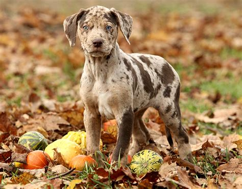 catahoula cur catahoula leopard breed information pictures