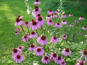 disappointing echinacea and other perennial problems