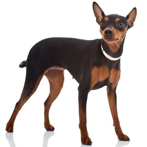 pinscher nano alimentazione zwergpinscher pinscher nano scheda razza su cani it