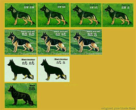 color genetics german shepherd color genetics haus ulv german shepherds