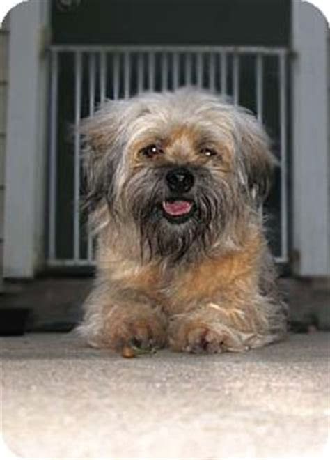 havanese lhasa apso peanut buttercup adopted houston tx lhasa apso havanese mix