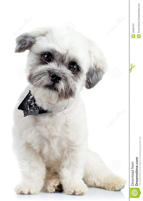 small havanese curious small bichon havanese puppy royalty free stock photography image 19462707