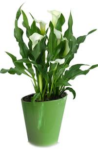 calla lilies indoor flowers plant care rocket farms
