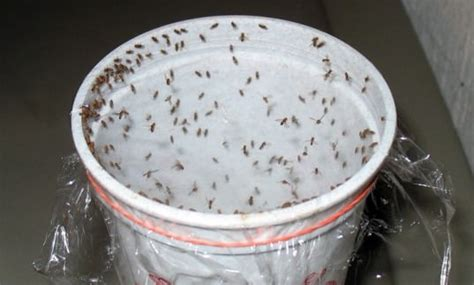 homemade traps   rid  fruit flies  chemicals