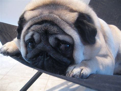 what are pugs like follow the piper pugs