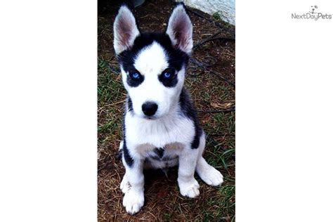puppies for sale palm springs siberian husky puppy for sale near palm springs california dcd886bb 9361