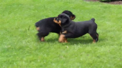 where to find rottweiler puppies rottweiler puppies for sale