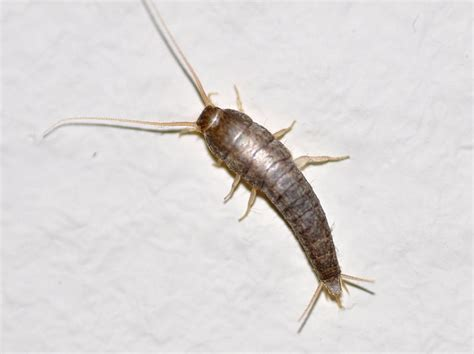 long bugs in bathroom file lepisma saccharina 1a jpg wikimedia commons