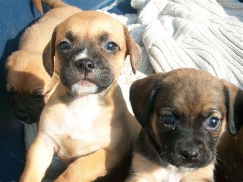 pug cross chihuahua puppies for sale pug