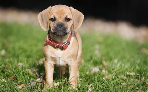 dogs hd wallpaper 2015 puggle dog hd wallpaper dogs wallpapers for all wallpepar