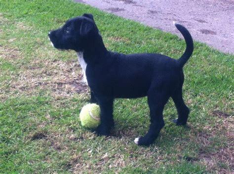 patterdale terrier breed guide learn