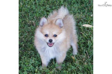 pomeranian puppies st louis mo pomeranian puppy for sale near springfield missouri 08c47879 3101