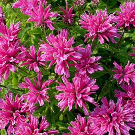 Petit Flower onlineplantcenter 1 gal delight bee balm plant