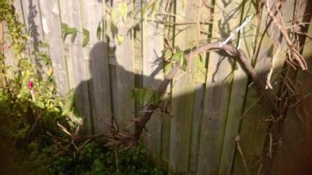 oude druif verplaatsen hulp bij aankoop druif groeninfo tuinforum