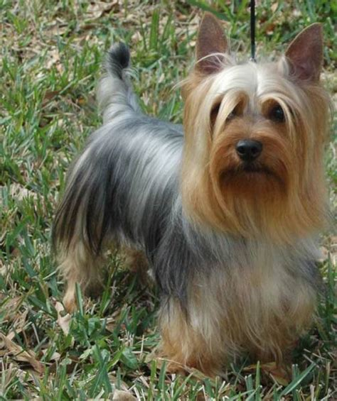 silky yorkie haircuts best 25 silky terrier ideas on terrier haircut yorkie cuts and